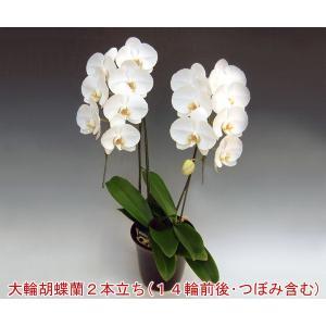 胡蝶蘭2本立ち14輪前後 つぼみ含む  ホワイト ビジネスの贈答品に|heart-flower
