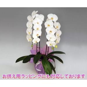 胡蝶蘭2本立ち 20リン前後 つぼみ含む  ホワイト 結婚祝い出産祝いご自宅用に|heart-flower