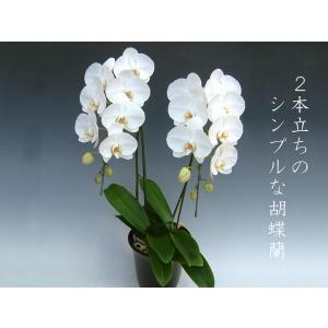 胡蝶蘭2本立ち 18リン前後 つぼみ含む  ホワイト 結婚祝い出産祝いご自宅用に|heart-flower