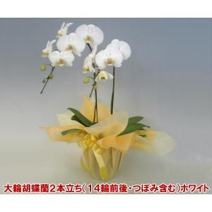 胡蝶蘭2本立ちホワイト14輪前後 つぼみ含む お祝いの贈り物に 送料無料 幸福が飛んでくるが花言葉。|heart-flower
