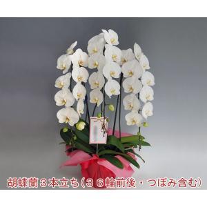 胡蝶蘭3本立ち 36輪前後 つぼみ含む  ホワイト ポイント10倍 送料無料 13%OFF|heart-flower