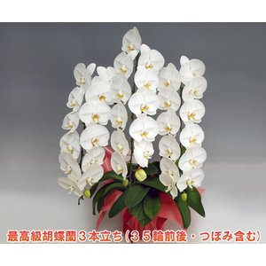 豪華胡蝶蘭3本立ち 35輪前後 つぼみ含む  ホワイト お供え用としても好評 送料無料|heart-flower