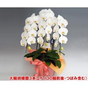洋蘭の鉄人が育てた豪華胡蝶蘭3本立ち 30輪前後 つぼみ含む ホワイト  白色|heart-flower
