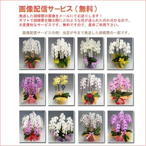 洋蘭の鉄人が育てた豪華胡蝶蘭3本立ち 30輪前後 つぼみ含む ホワイト  白色|heart-flower|05