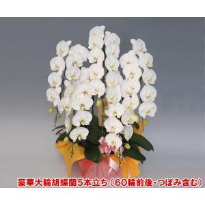 最高級胡蝶蘭5本立ち 60リン前後 つぼみ含む  ホワイト 送料無料 16%OFF 期間限定ポイント10倍|heart-flower