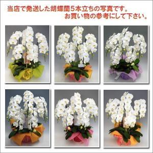 胡蝶蘭5本立ち 50リン前後 つぼみ含む  ホワイト  送料無料 24%OFF|heart-flower|02