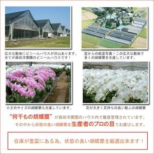 胡蝶蘭5本立ち 50リン前後 つぼみ含む  ホワイト  送料無料 24%OFF|heart-flower|04