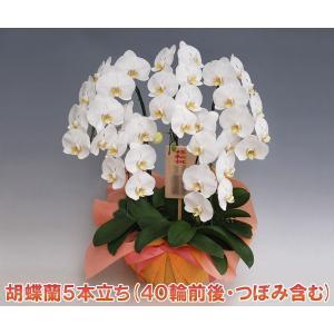 胡蝶蘭5本立ち40輪前後 つぼみ含む  ホワイト 最高級の鉢花 送料無料14%OFF|heart-flower