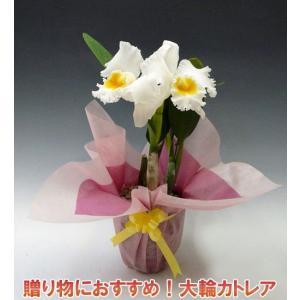 産地直送でお届け 蘭の女王カトレア2輪ホワイトインパクト大 最高級の洋蘭です。|heart-flower