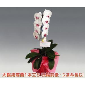 胡蝶蘭1本立ち8輪前後 つぼみ含む  赤リップ 多年草の鉢植え|heart-flower
