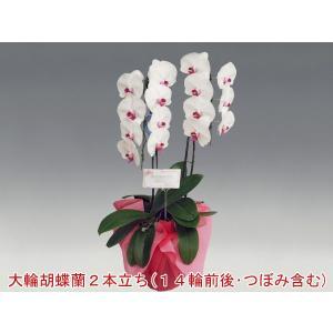 胡蝶蘭2本立ち14輪前後 つぼみ含む  赤リップ 洋ランのフラワーギフト|heart-flower