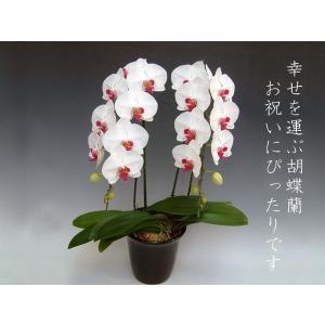 胡蝶蘭2本立ち 20リン前後 つぼみ含む  赤リップ 結婚祝い出産祝いご自宅用に|heart-flower