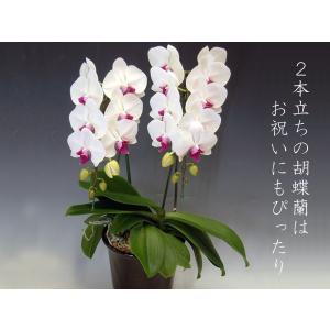 胡蝶蘭2本立ち 18リン前後つぼみ含む  赤リップ 結婚祝い出産祝いご自宅用に|heart-flower