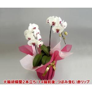 胡蝶蘭2本立ち赤リップ14輪前後 つぼみ含む お祝いの贈り物に 送料無料|heart-flower