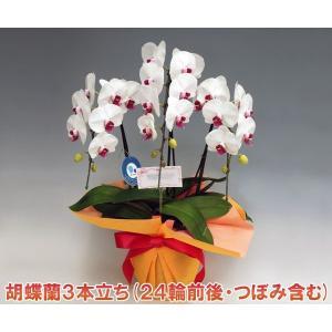 胡蝶蘭3本立ち 24輪前後 つぼみ含む  赤リップ 当店人気ランキング入り|heart-flower