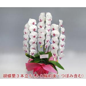 豪華胡蝶蘭3本立ち 40輪前後 つぼみ含む  赤リップ ポイント10倍 ビジネスの贈答品に heart-flower