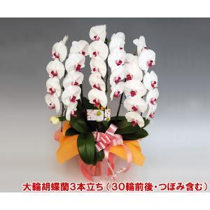 洋蘭の鉄人が育てた豪華胡蝶蘭3本立ち 30輪前後 つぼみ含む  赤リップ ポイント10倍 送料無料|heart-flower