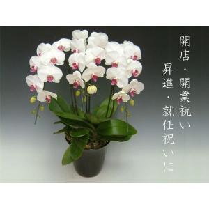 贈答用 胡蝶蘭3本立ち 27輪前後 つぼみ含む  赤リップ ビジネスギフトに大好評 heart-flower