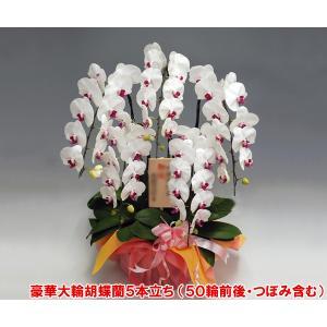 胡蝶蘭5本立ち50リン前後つぼみ含む  赤リップ 開店祝いや開業祝いに heart-flower