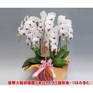 豪華胡蝶蘭5本立ち45輪前後 つぼみ含む  赤リップ 特A級の胡蝶蘭です。|heart-flower