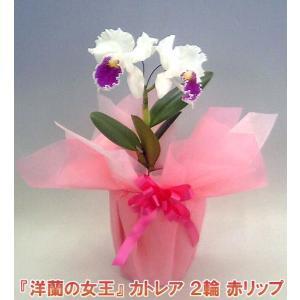 産地直送でお届け 蘭の女王カトレア2輪赤リップ  インパクト大 最高級の洋蘭です。|heart-flower