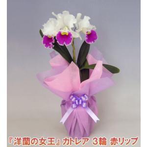 産地直送でお届け 蘭の女王カトレア3輪赤リップ  インパクト大 最高級の洋蘭です。|heart-flower