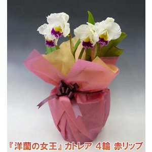 産地直送でお届け 蘭の女王カトレア4輪赤リップ  インパクト大 最高級の洋蘭です。|heart-flower