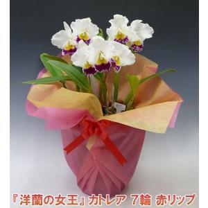 産地直送でお届け 蘭の女王カトレア7輪赤リップ  インパクト大 最高級の洋蘭です。|heart-flower