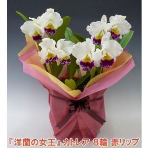 産地直送でお届け 蘭の女王カトレア8輪赤リップ  インパクト大 最高級の洋蘭です。|heart-flower