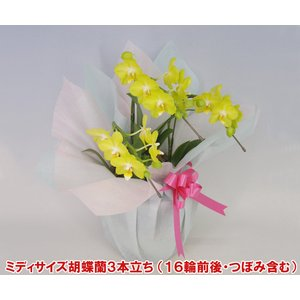 ミディ胡蝶蘭3本立ち16輪前後 つぼみ含む  黄色系 母の日の贈り物に|heart-flower