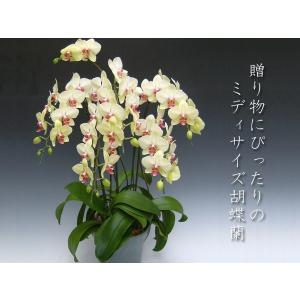 黄色い胡蝶蘭5本立ち ミディサイズ 40輪前後 つぼみ含む 現在つぼみ多めでの出荷となります 贈答品におすすめ heart-flower