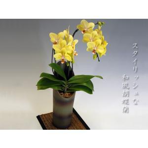 和風胡蝶蘭 かぐや 黄色系ミディサイズ2本立ち14輪前後 つぼみ含む  現在つぼみ多めとなります。|heart-flower