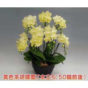 ミディ胡蝶蘭7本立ち56リン前後つぼみ含む  黄色系 送料無料 現在つぼみ多めでの出荷となります  heart-flower