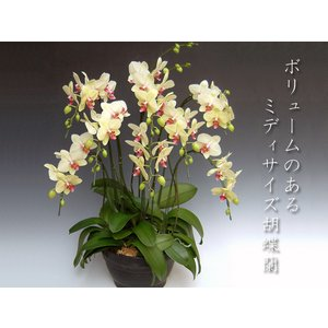 黄色い胡蝶蘭8本立ち ミディサイズ 豪華フラワーギフト 現在つぼみ多めでの出荷となります。 heart-flower