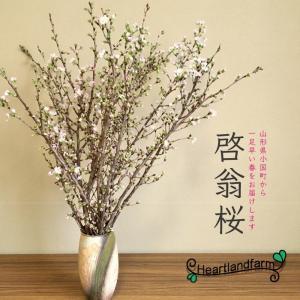 啓翁桜(けいおうざくら) 山形県産 桜 約70cm 10本 一箱 heartlandfarm