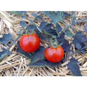 Blue Tomato Baby Blues ブルートマト・ベイビー・ブルース(9cmポット自根苗4苗)*予約商品...