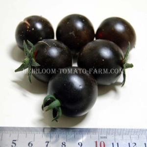 Blue Tomato INDIGOHelsing Junction Blues ブルー・トマト・ヘイシング・ジャンクション・ブルース (9cmポット自根苗4苗)*予約商品