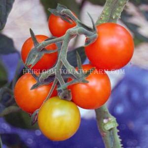 Heirloom Tomato Orange Berry Cherry エアルーム・トマト・オレンジ...