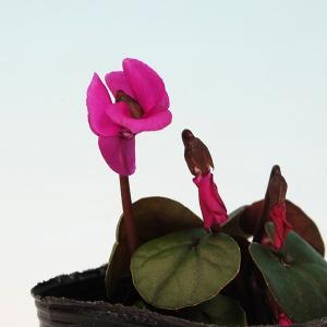 原種シクラメン 赤系 シクラメンコウム 山野草の詳細画像1