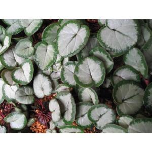 原種シクラメン 白系 シクラメンコウム シルバ...の詳細画像1