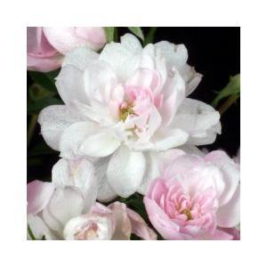 山野草 極姫バラ ゴクヒメバラ   6cmポット苗。  淡い桃色の八重極小輪四季咲種。 一般のバラ...