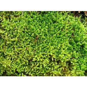 ハイゴケ・這苔 苔玉作りに最適です|hekizanen