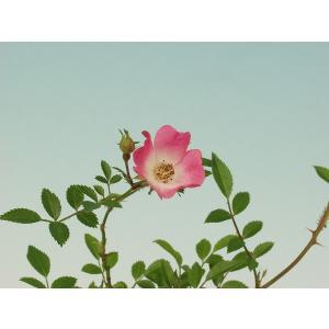 姫バラ雅 ミヤビ  山野草・バラ盆栽の苗   枝ぶりが細かく、小鉢作りに最適なバラです。