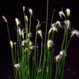 姫ワタスゲ 山野草の商品画像