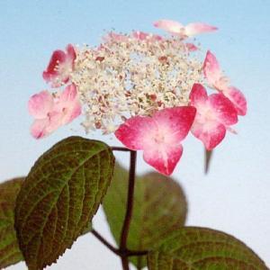 紅(クレナイ)ヤマアジサイ【山野草】   咲き始め白色ですが、  次第に紅色に変化していきます。  ...