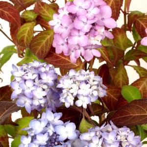 ヤマアジサイ 舞妓アジサイ(マイコアジサイ)【山野草】  9cmポット苗   5月 開花前です  三...