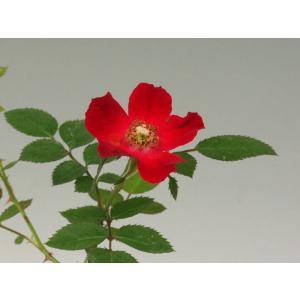 真赤のノバラ 山野草  バラ盆栽の苗