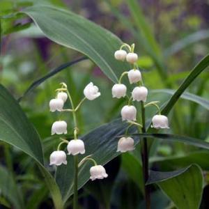 日本スズラン 山野草   ポット苗 2〜3芽入り   日本のスズランの花は葉に隠れるように咲く、茶花...