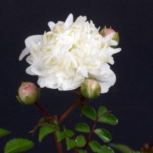 テリハノイバラの白花丁字咲 八重咲