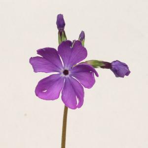 桜草 ニホンサクラソウ 銘品 紫光梅 山野草